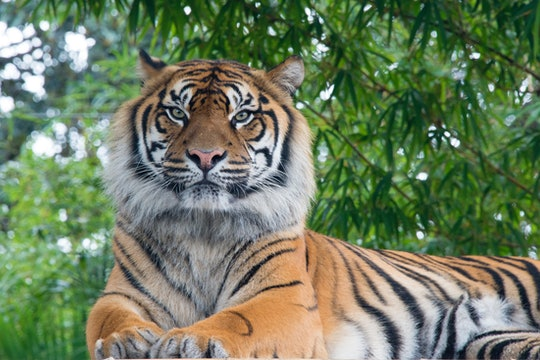 an adult tiger in nature