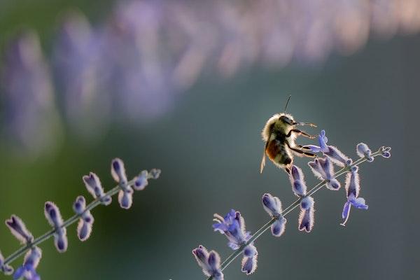 a backlit bee on a delicate purple flower