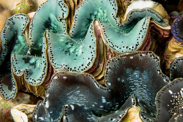 close up of turquoise and black giant clams