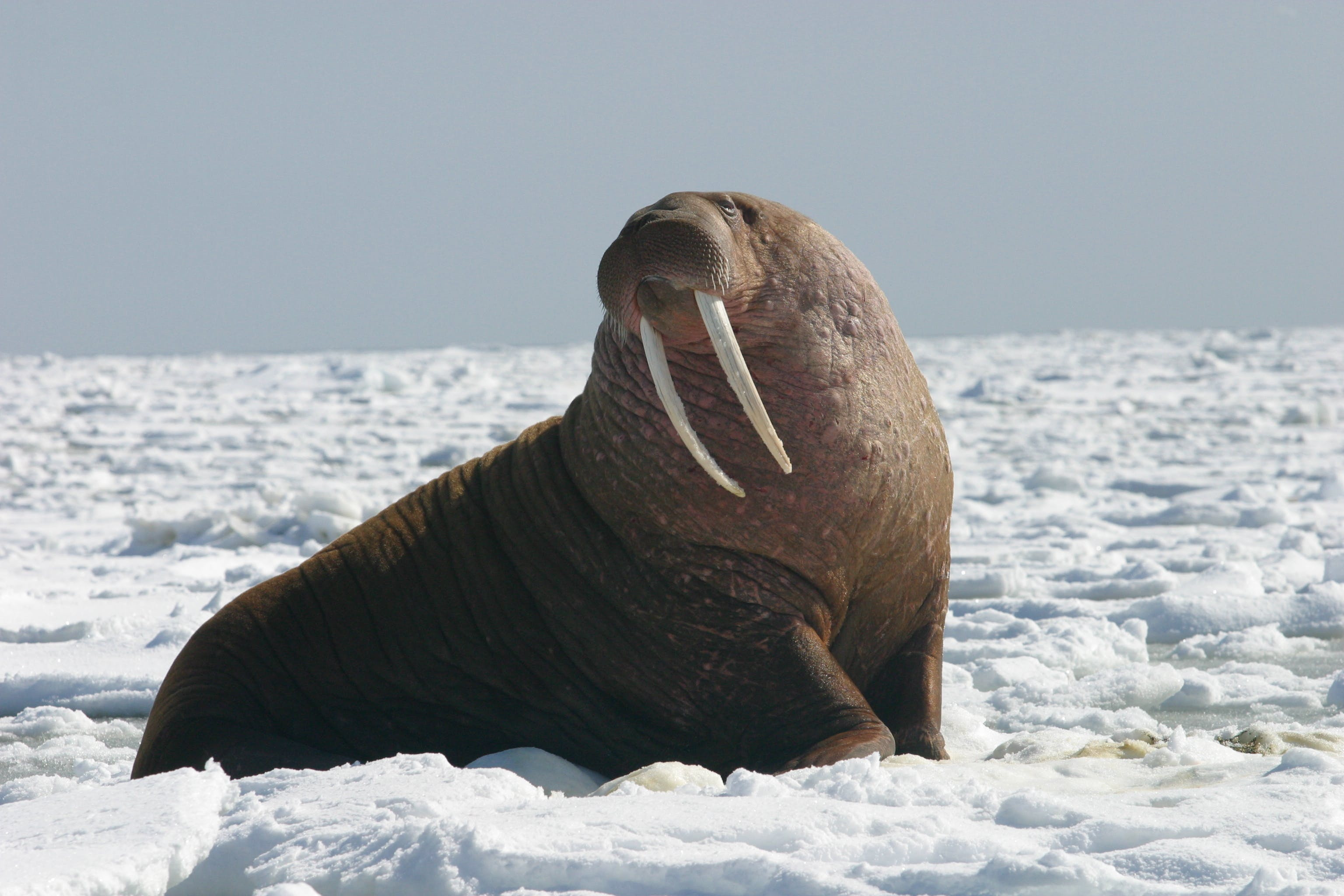 A male Pacific walrus