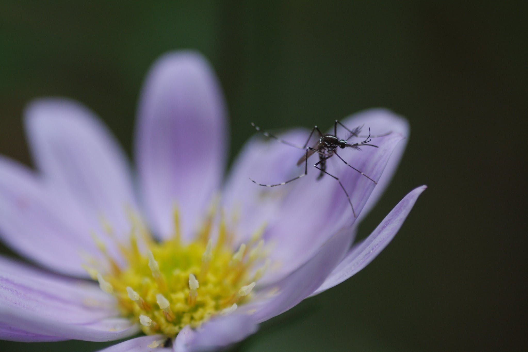 Mosquito on purple flower