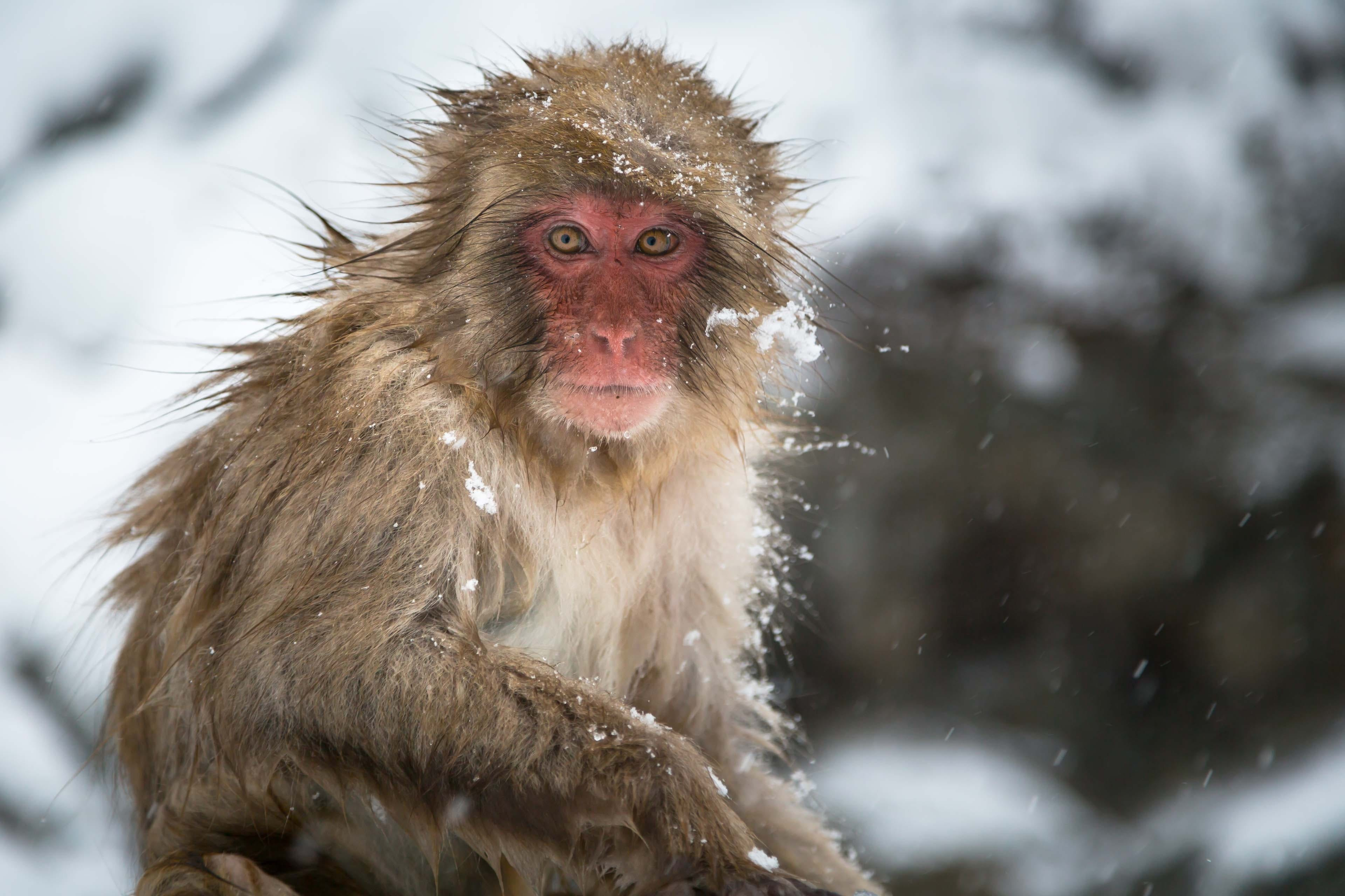 What's wrong with injecting human brain genes into monkeys?