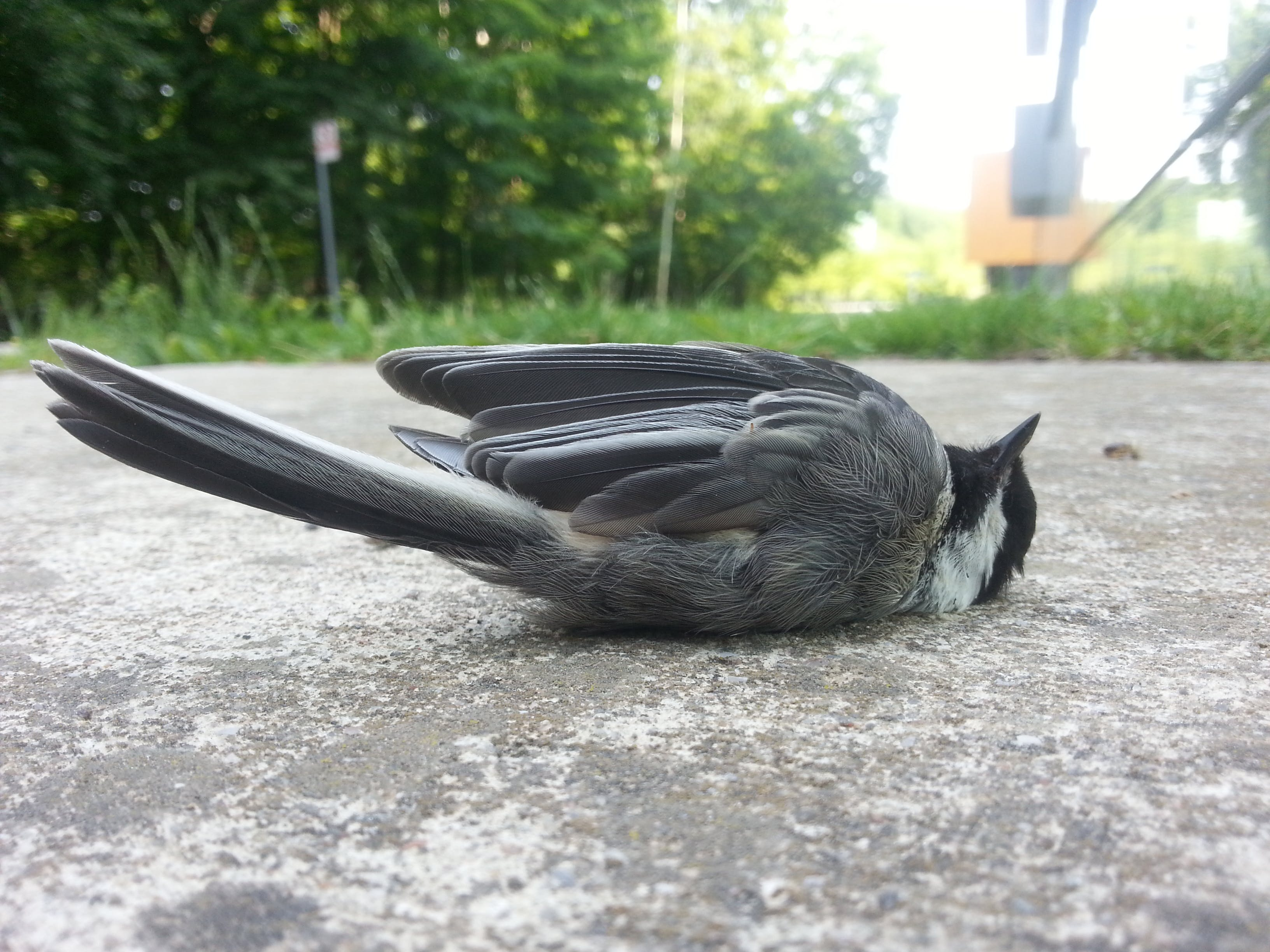A songbird killed by a collision with a window