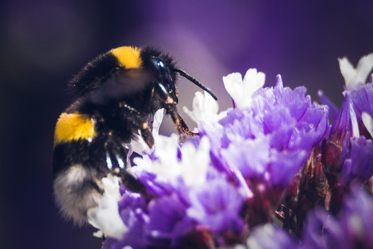 close-up of a bumblebee feeding on a purple flower