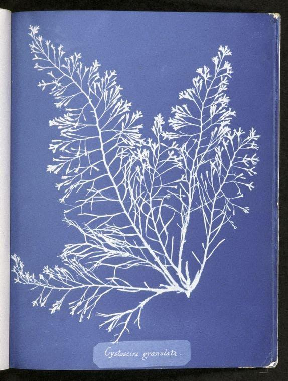 A cyanotype of algae done by Anna Atkins.