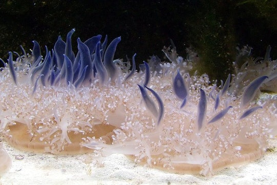 an orange jellyfish with blue tentacles extending above it