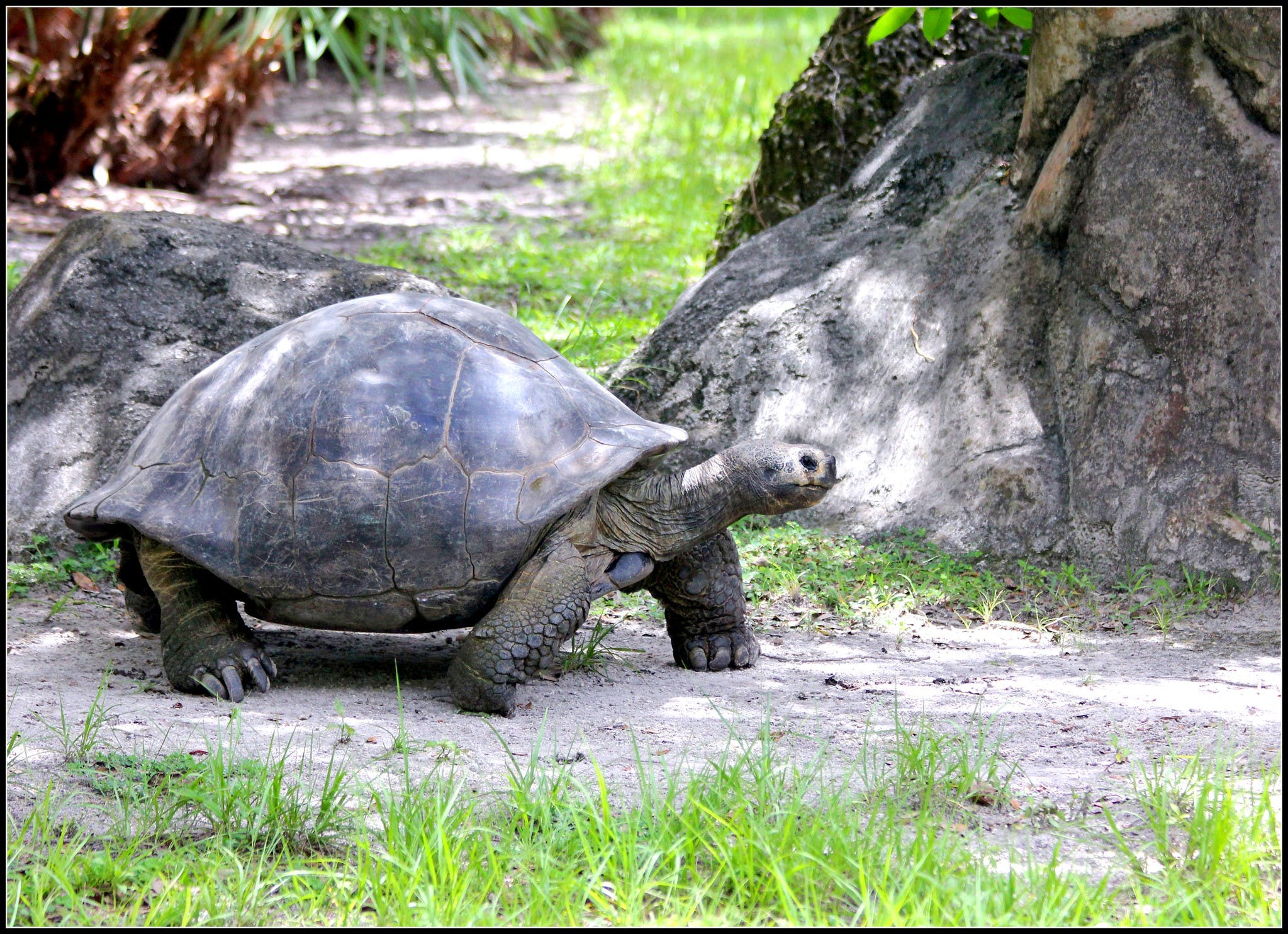 a very large tortoise walking on the ground under a tree