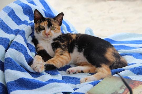 Orange and black Cat on a beach towel