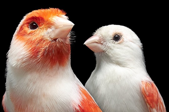 brightly colored male and white female mosaic canary