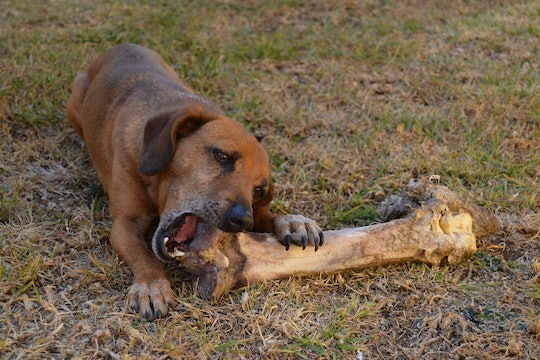 A dog chewing on the end of a very large bone, from an ostrich.