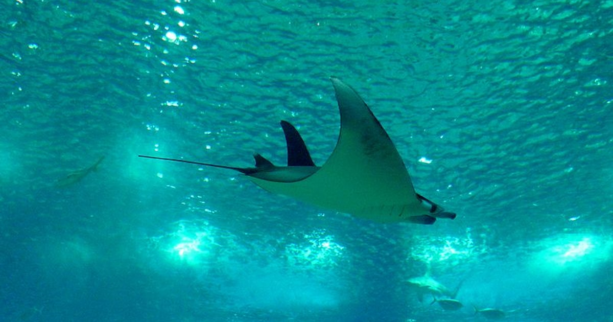 Scientists find the first known nursery for the munk's devil ray