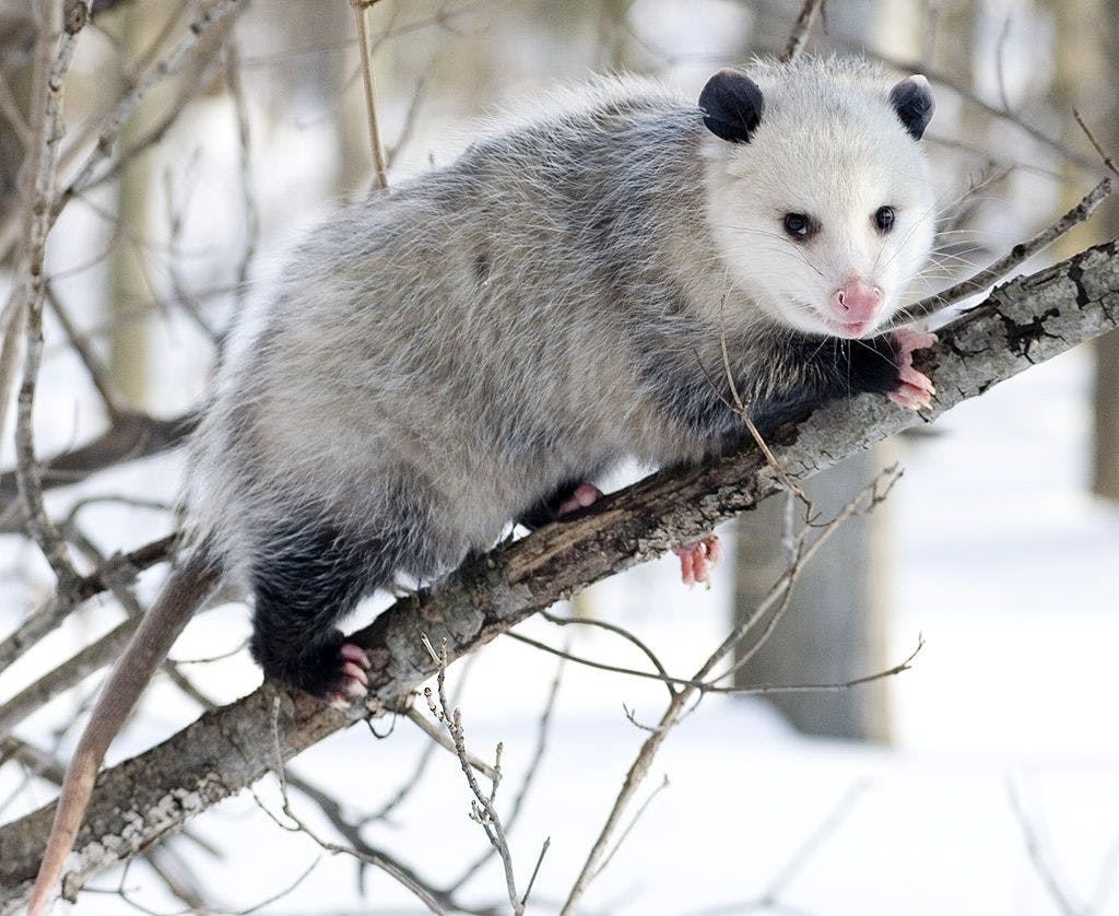 An American opossum in the snow