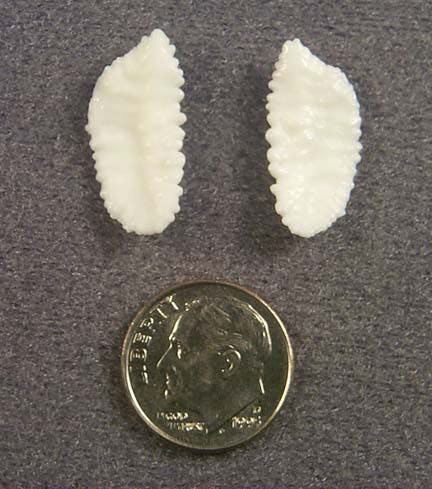 Otolith from Pacific Cod