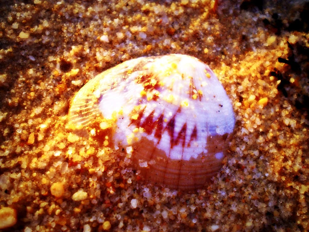 Pink and white sea shell buried in the sand on the beach