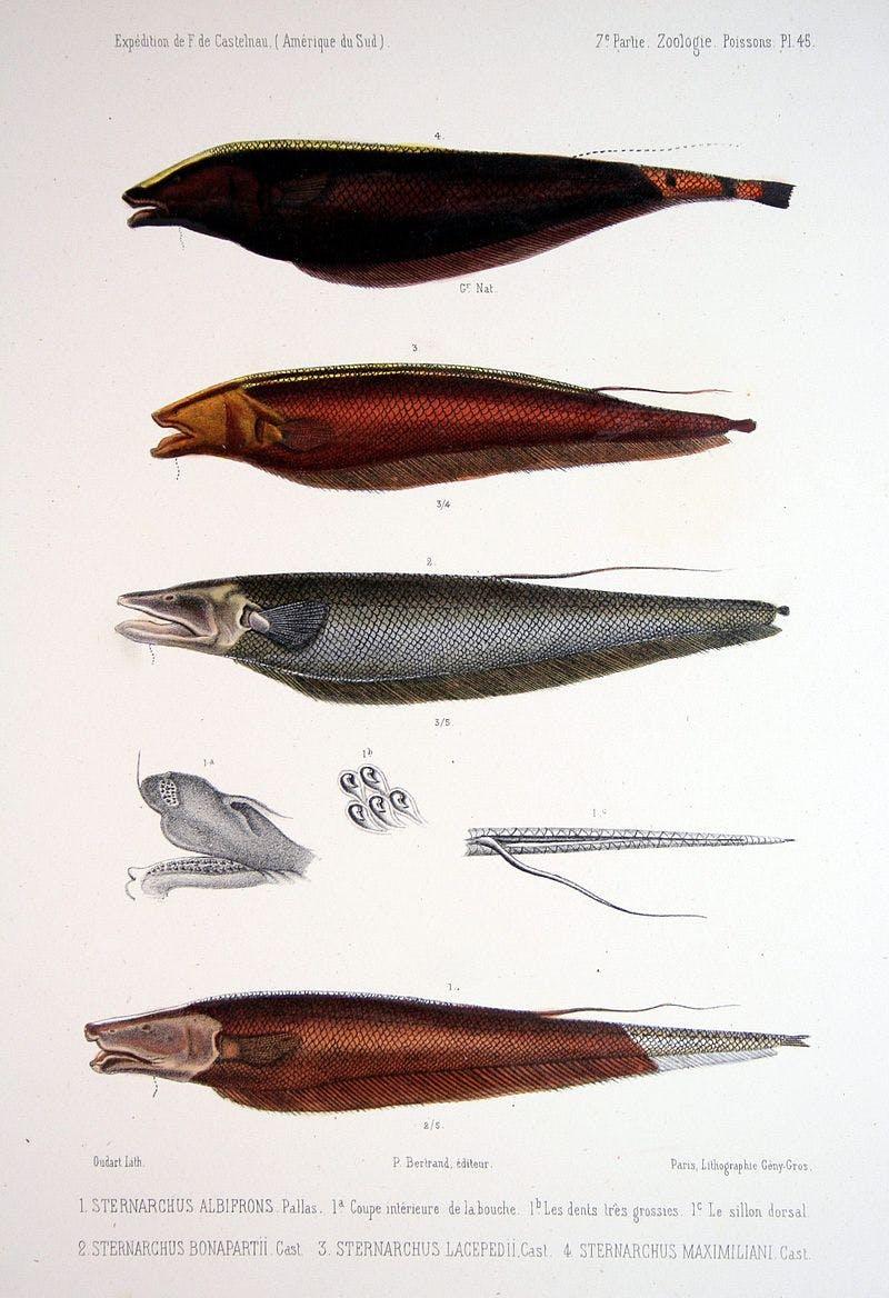 illustration of 4 fish