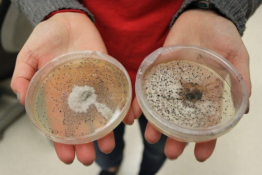 A scientist holding two bacterial agar plates with growth on them