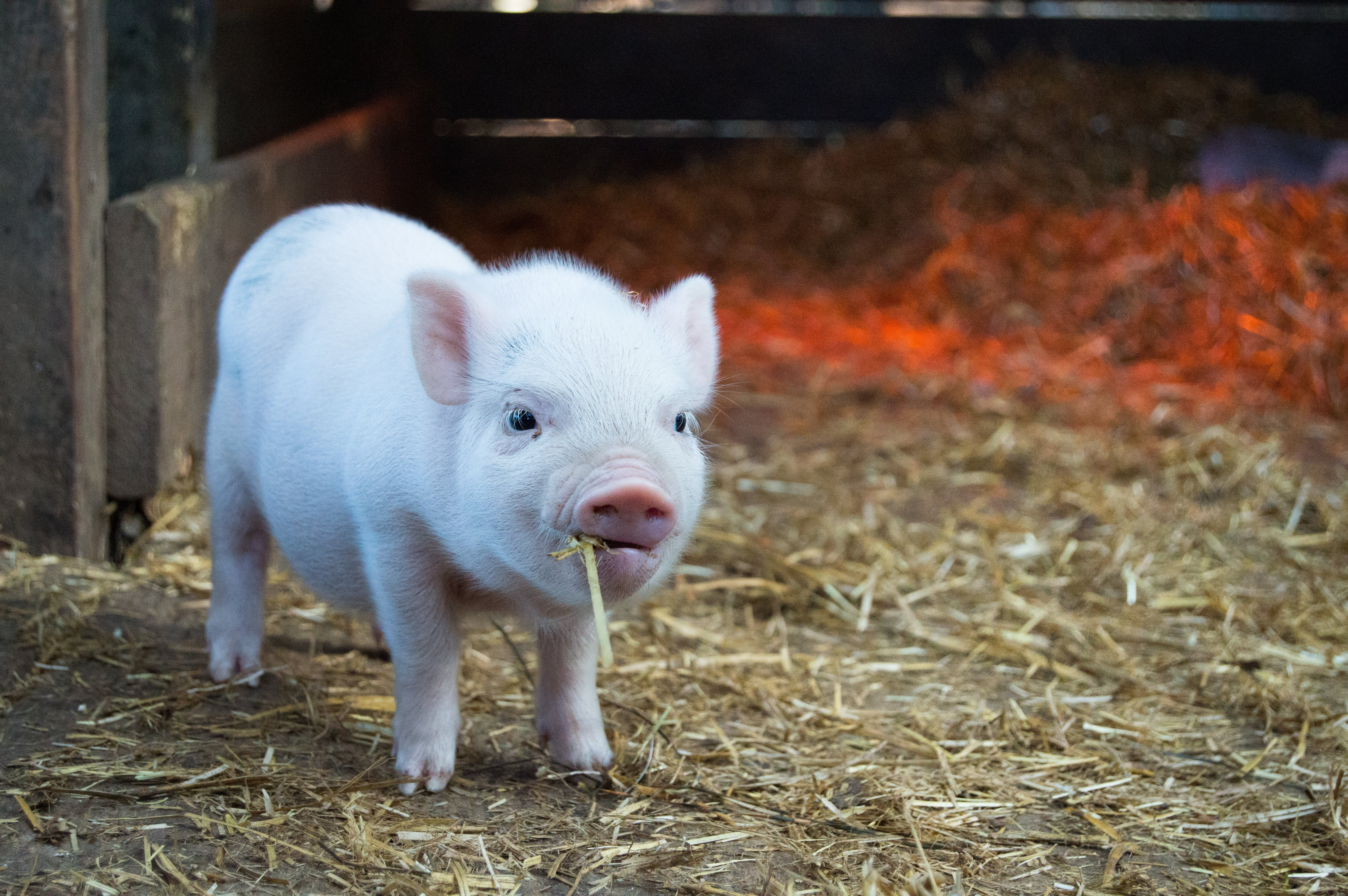 Cute little piglet chewing on hay
