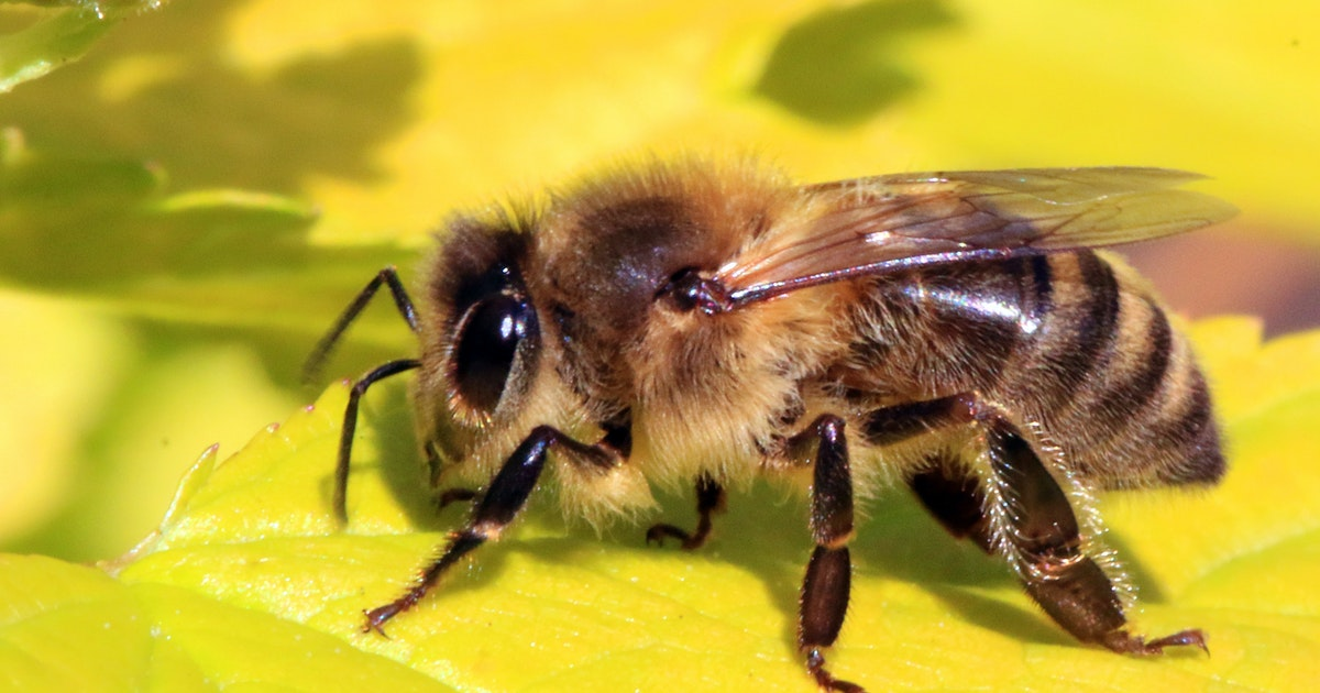 Heat waves may drive bees to extinction