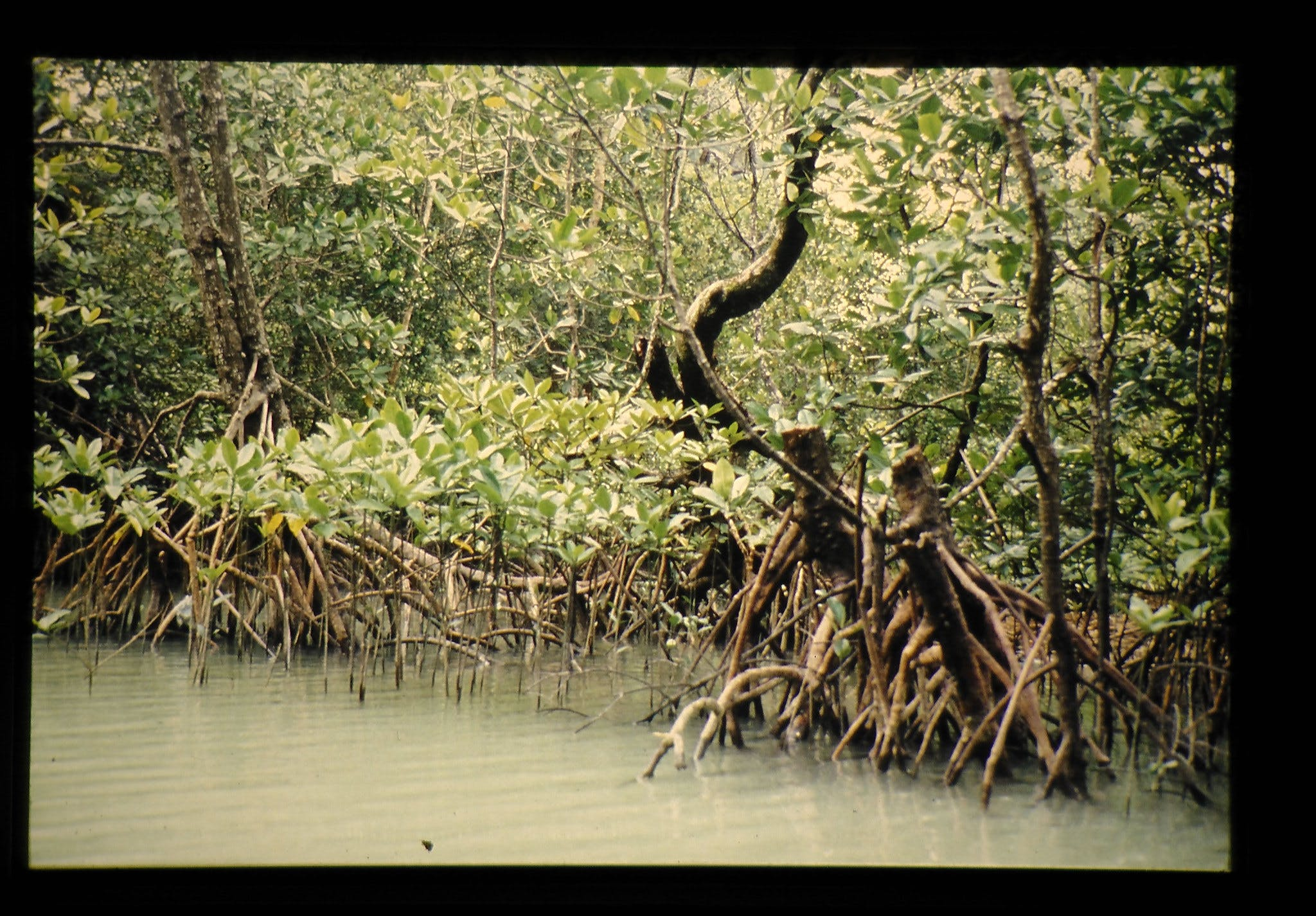 A swampy mangrove forest in Thailand, 1988.