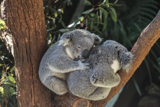 two koala bears in a tree