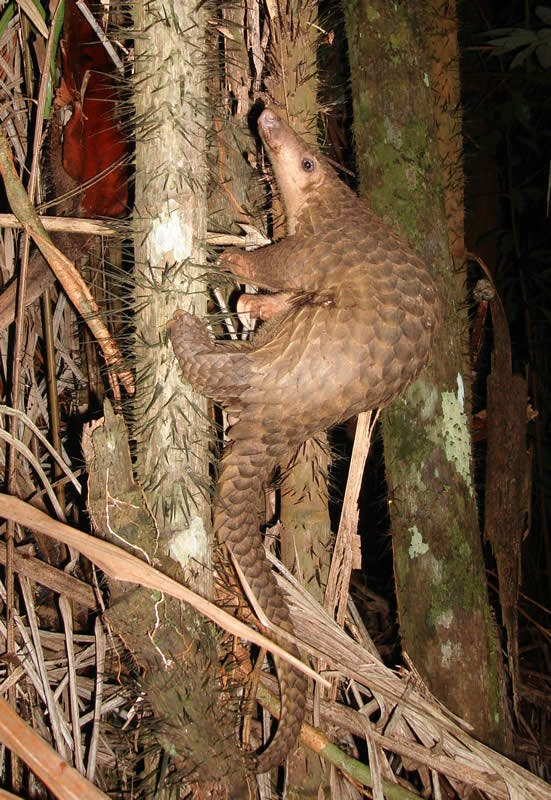 Pangolin (small mammal with scales) climbs a tree