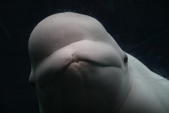 close up of beluga whale looking at camera