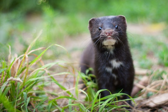 An American mink standing in some grass