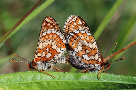 A pair of Marsh fritillaries (Euphydryas aurinia) mating, male left and female right,