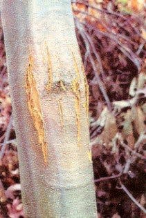 a tree with bark split open due to chestnut blight fungus