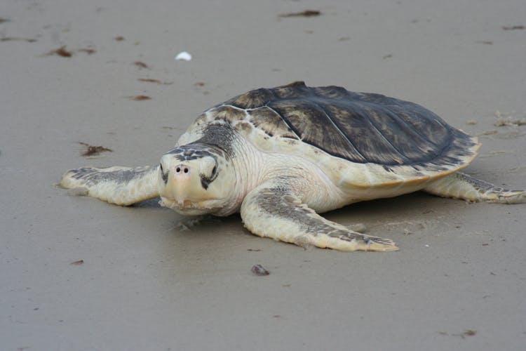 A Kemp's Ridley sea turtle