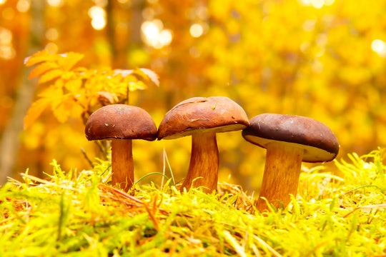 three mushrooms lined up against yellow leaves