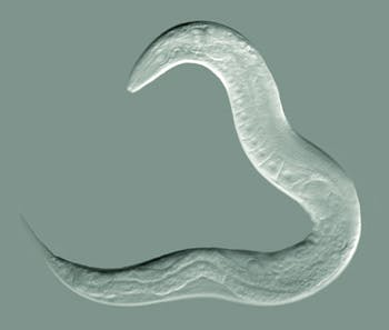 Image of the model worm C. elegans