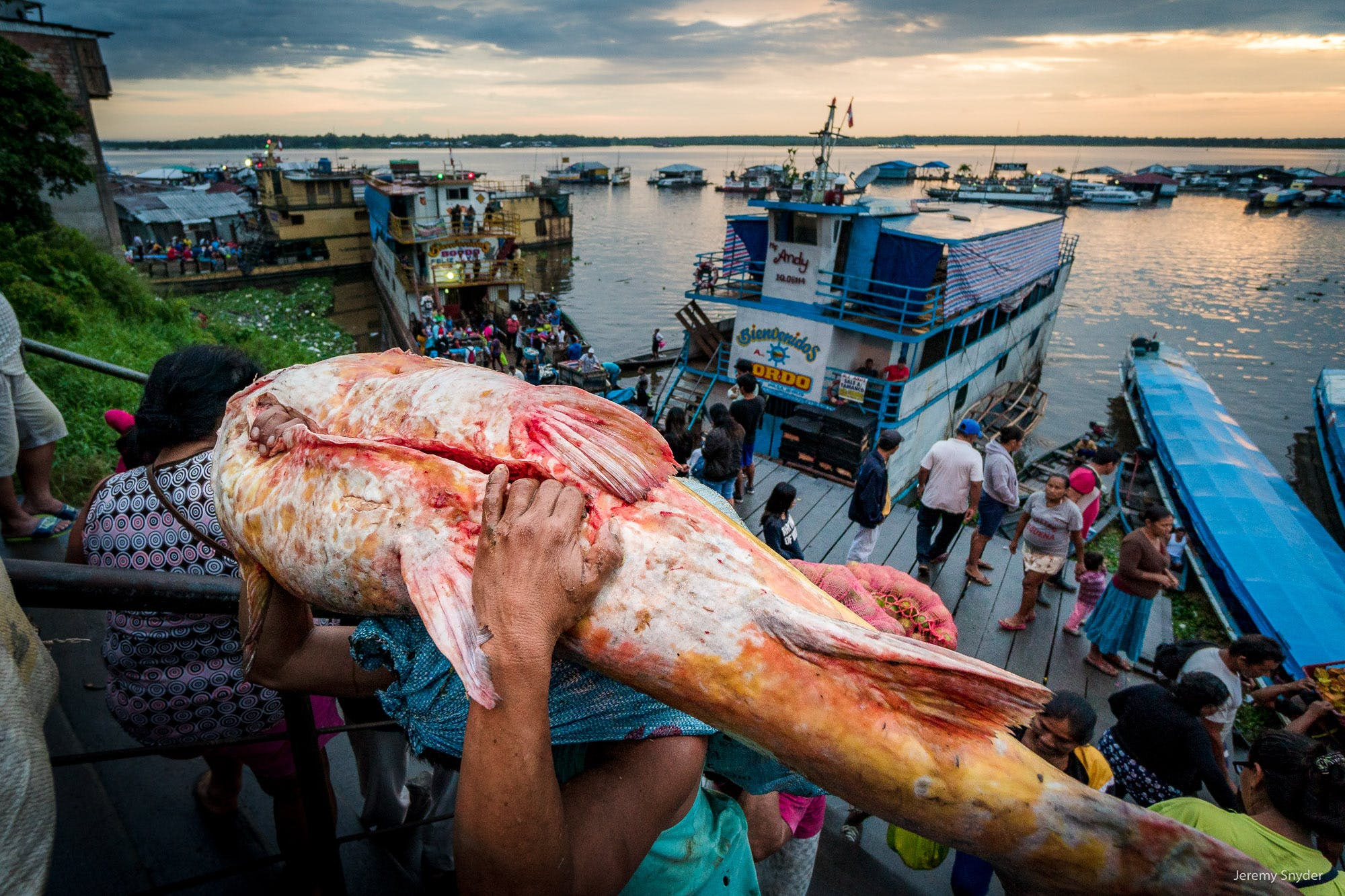 A giant catfish from the fisheries of the Amazon river being carried up to market in Iquitos, Peru