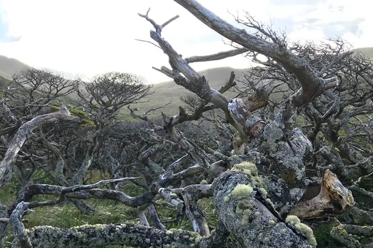 a tangle of small trees in Chile