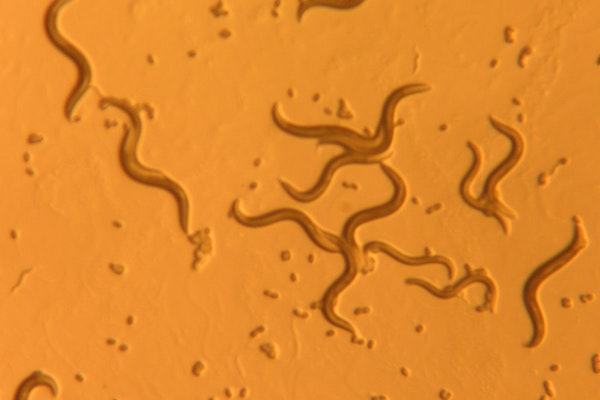 small nematode worms under a microscope against an orange background