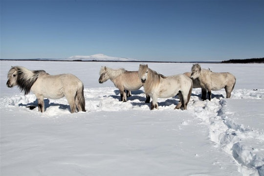 A herd of migrating wild horses standing in a snowy field.