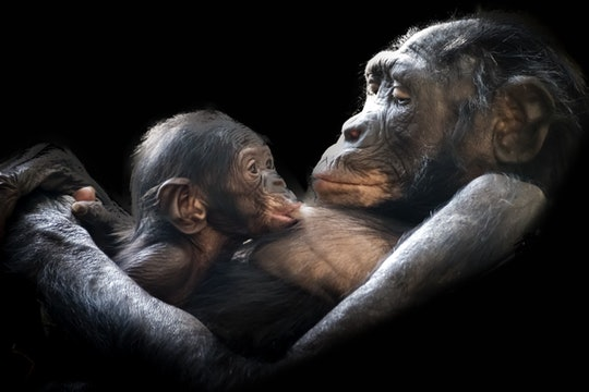 a mother chimpanzee feeding her baby