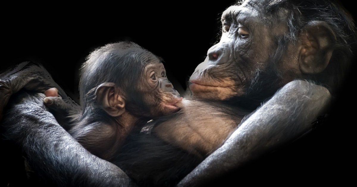 Chimpanzees' brains reflect their early childhood experiences