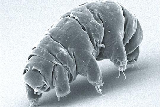 Tardigrade waterbear SEM micrograph
