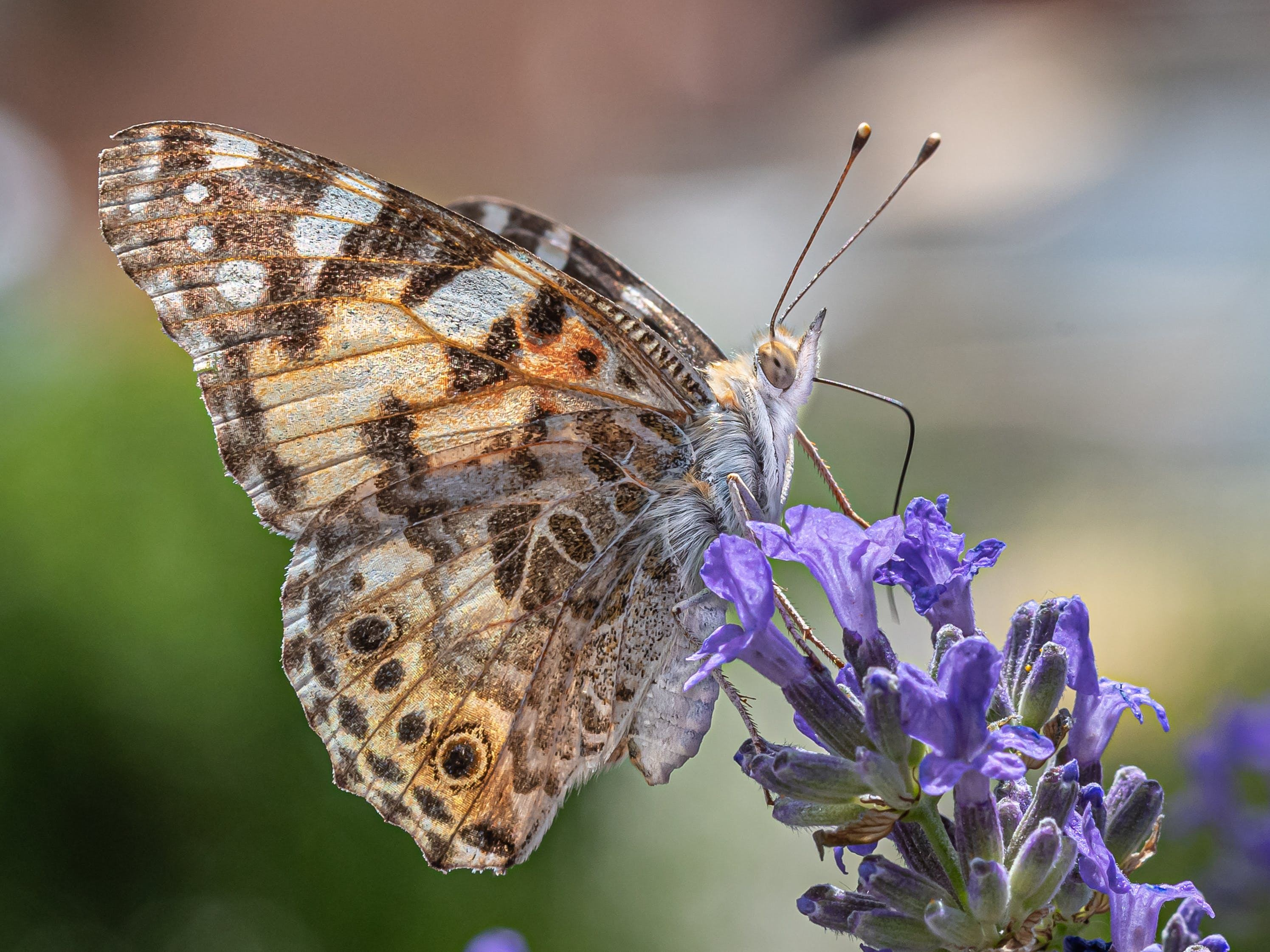 a painted lady butterfly on lavender
