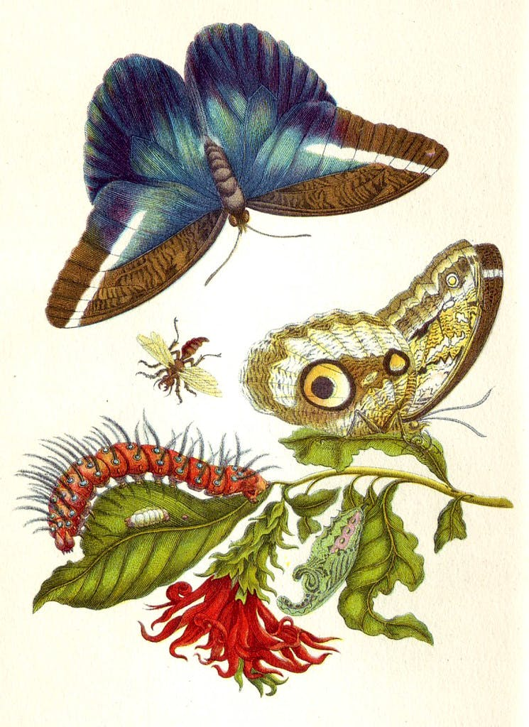 Butterflies from Merian's book, Metamorphosis insectorum Surinamensium