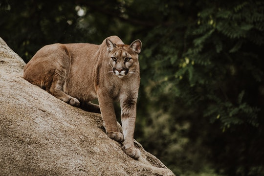 a puma perched on a rock