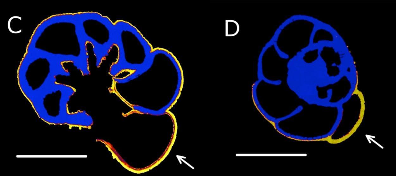 Biogeochemistry of foraminifera. Forams incorporate calcium as they grow