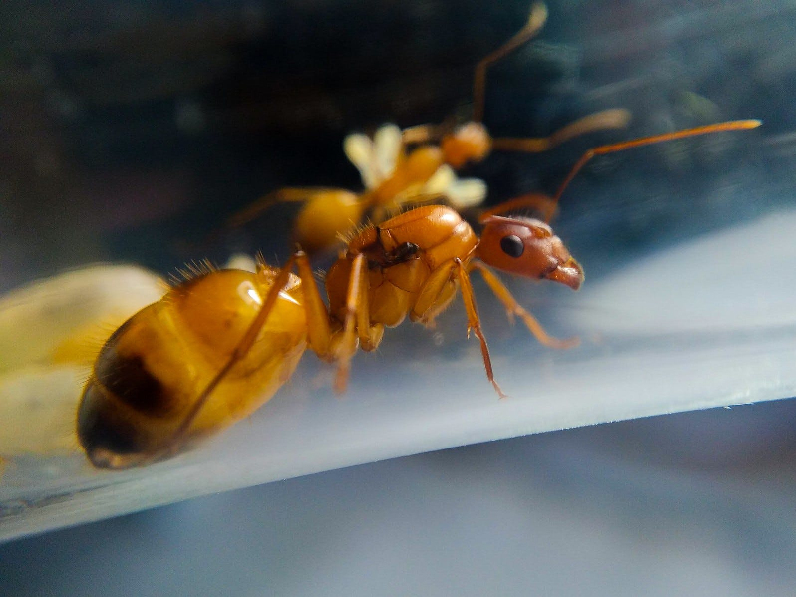 A queen of the ant species  Camponotus pilicornis