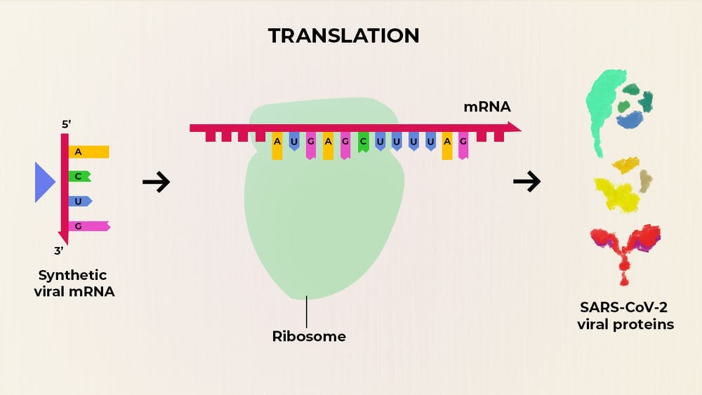 A diagram of an mRNA vaccine in action. It shows a synthetic mRNA being translated by a ribosome into individual proteins from SARS-CoV-2, which induce an immune response.