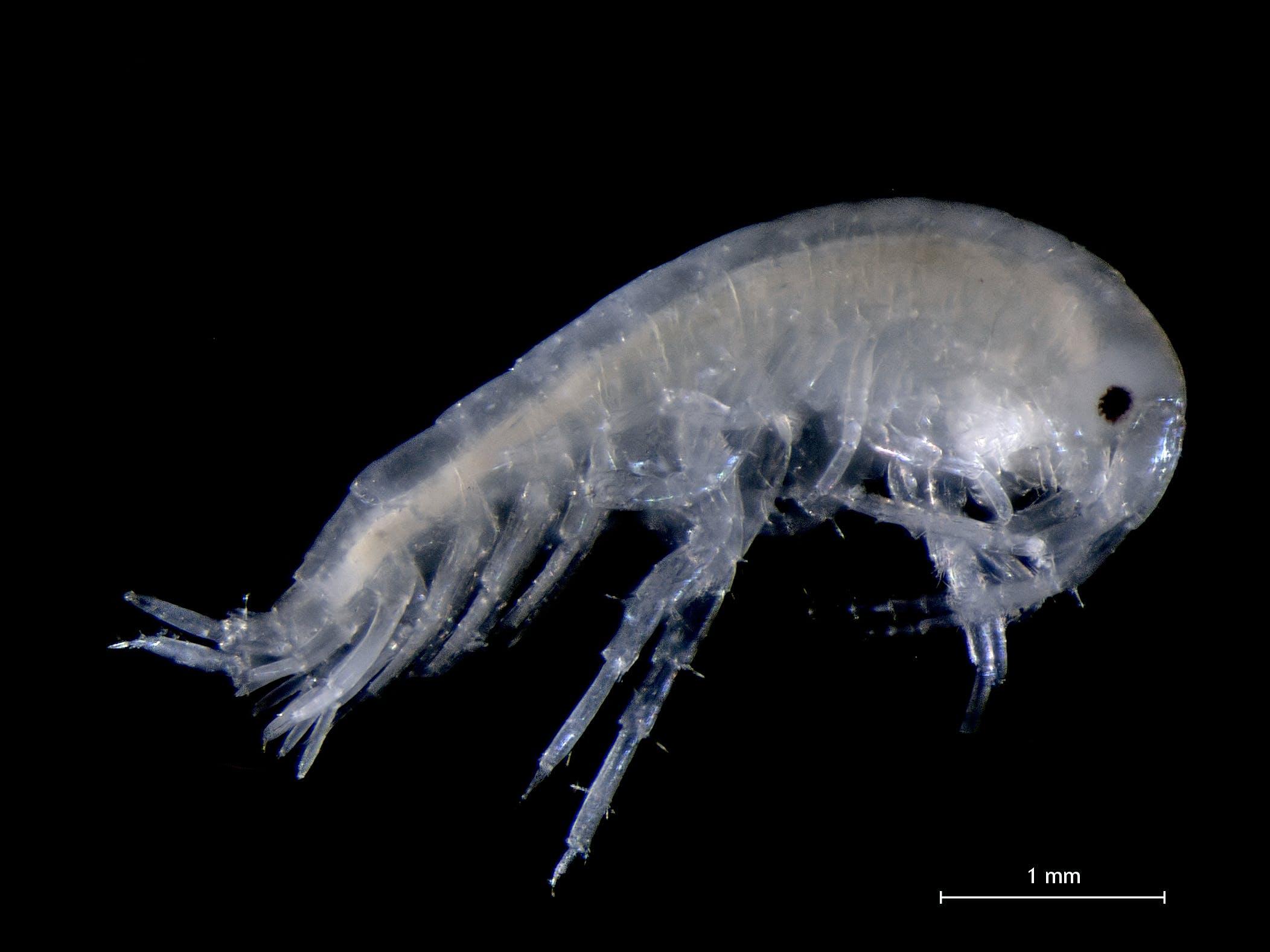 translucent underwater crustracean, Aora gracilis