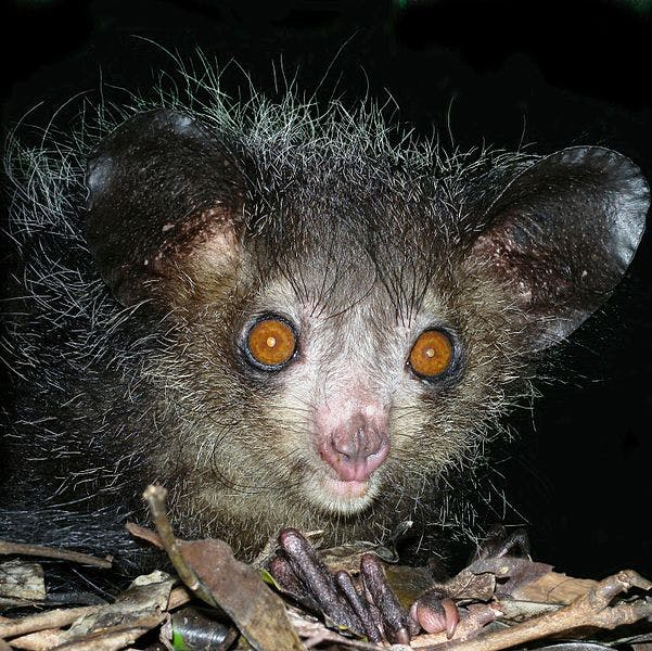 An aye-aye, a strange nocturnal primate that only lives in Madagascar
