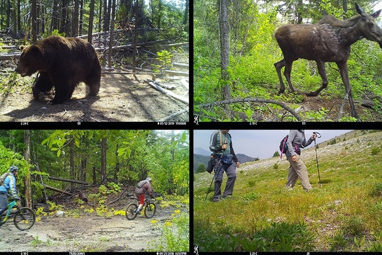 bear moose camera trap