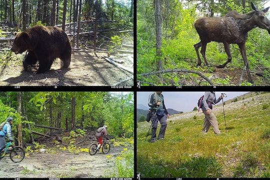 bear moose camera trap