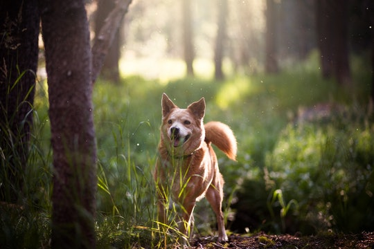A short haired brown dog running on a trail in a forest between some trees.